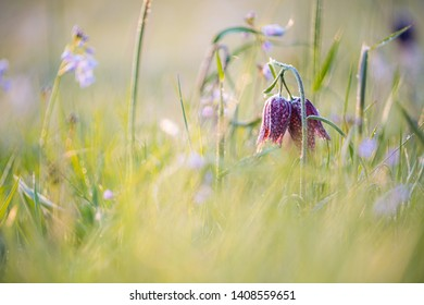 The fritillary is a plant from the lily family. The flower has purple checkered petals. The plant dies a few months after flowering. It takes the plants eight years to get into flower.