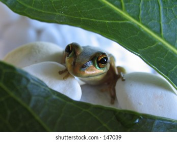 Frog behind the leaf