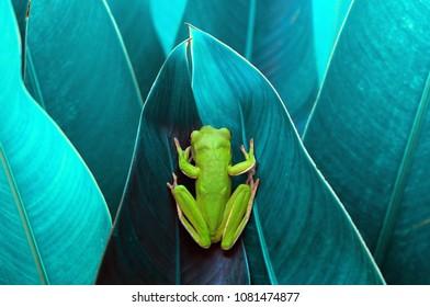 Frog in Between Leaf