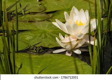 Frog between Leaves in Pond with Waterlilies