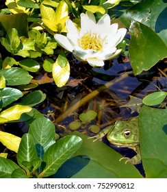 a frog between a lotus leafs