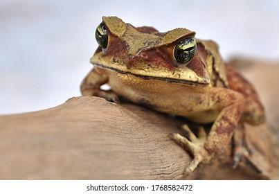 Frog with big eyes of Brazilian fauna three