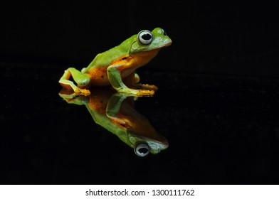 Frog with a black background, Flying Frog,