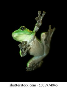 Frog with a black background, Flying Frog