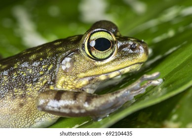 Frog from Borneo known as Kinabalu Torrent Frog or scientifically call as Meristogenys kinabaluensis
