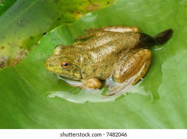 Frog Changing From a Tadpole