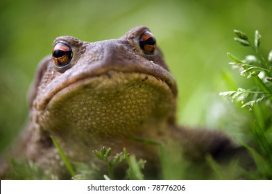 Frog, close up view, on green grass background