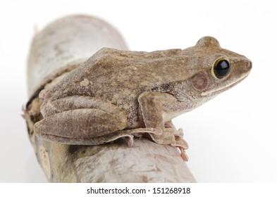 Frog, Common Bush, Rhocoprus Leucomystax on white background.