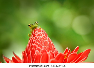 Frog from Costa Rica, tropic forest. Beautiful animal in jungle, exotic animal from South America. Hypsiboas rufitelus, Red-webbed Tree Frog, tinny amphibian with red flower.  in nature habitat.