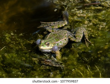 Frog croaks in water of a pond