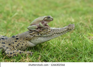 Frog, Crocodile, Green Grass