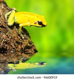 The frog (Dendrobates)