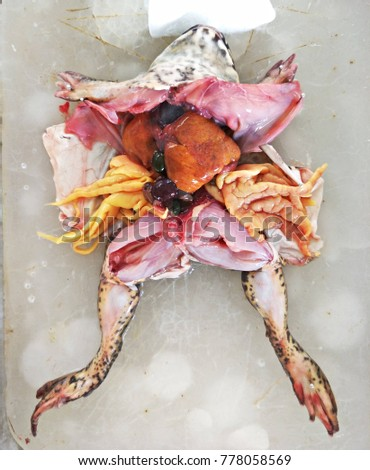Frog Dissection Anatomy Put On Ice Stock Photo Edit Now 778058569