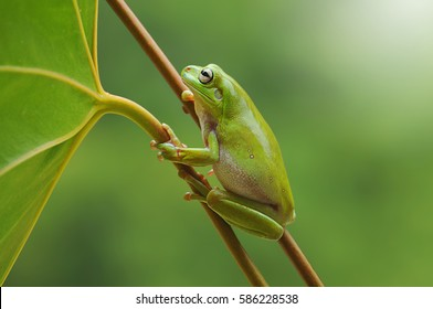 frog, dumpy frog, tree frog, frog on the leaves,