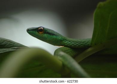 frog eating snake