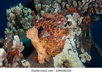 Frog fish from Hawaii