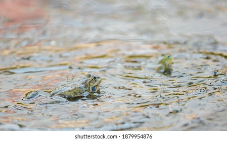 Frog forms with long legs and smooth. Green reptile animal, Lithobates catesbeianus frog near the lake wildlife nature. Amphibian exotic frog in the forest swamp or jungle rainforest