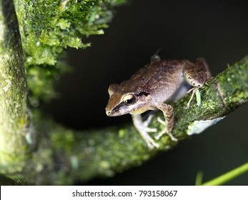 Frog of the genus Rana in the mountain foggy forest of Maquipucuna, Ecuador