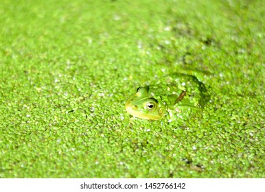 frog hidden among green mosses - camouflage frog in duckweed - frog close up