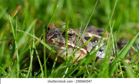 Frog hides in lawn