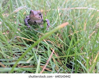 Frog Hiding in Grass