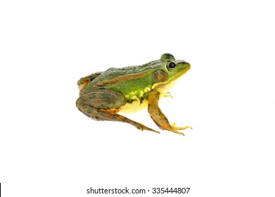 Frog isolated on a white background