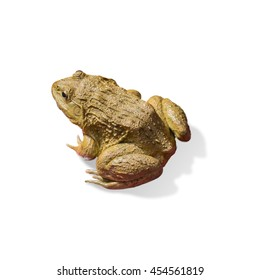 Frog isolated on white background, Clipping path