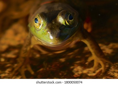Frog isolated in river on rock.