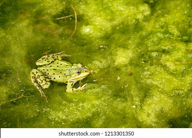 frog in a lake in summer