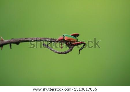Frog Leaf Beatle Green