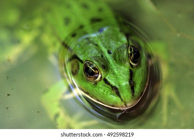 Frog looks out form water