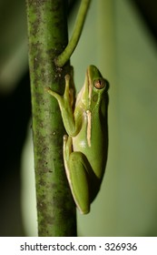 Frog on Avocado tree