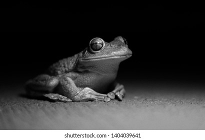 Frog on black background, cuban tree frog, sharpe image of frog, frog in black and white