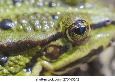 A frog, Frog, is on a bog, eye of frog