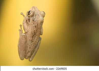 Frog on Glass
