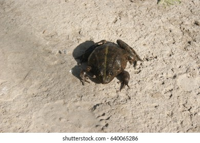 Frog on a gray background. The Great River Toad