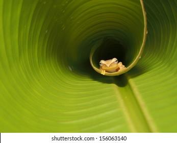Frog on green banana leaves