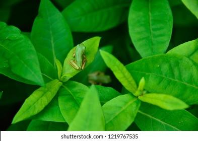 A frog on green leaf, Shimane Japan.