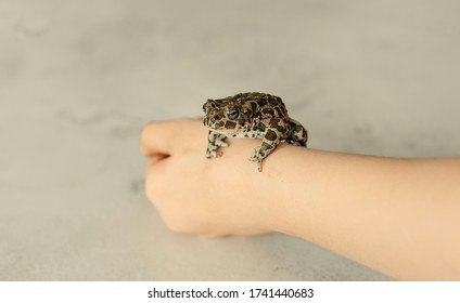frog on hand . Ordinary frog on a light background. frog, shrub frog.