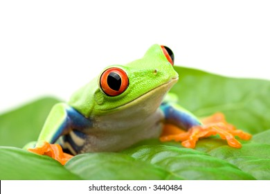 frog on a leaf - red-eyed tree frog (Agalychnis callidryas) sitting on a leaf, close up isolated on white