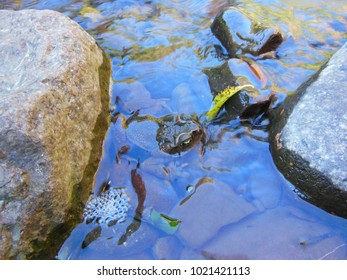 Frog on the pebbles on the riverbed