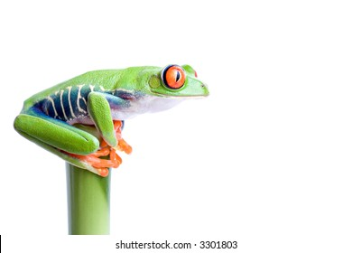 frog on top of bamboo, red-eyed tree frog (Agalychnis callidryas) closeup isolated on solid white