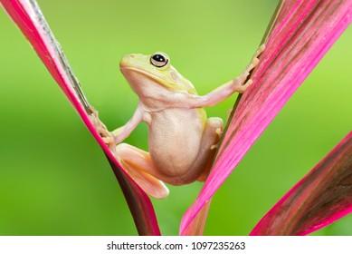 Frog on the water, Dumpy Frog, Amphibian