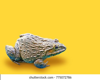 The frog on Yellow pastel background.minimal concept.clipping path