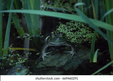 Frog partially submerged in water on a rock in a pond with another frog photobombing in the corner in Massachusetts USA