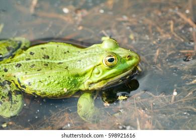 frog Pelophylax ridibundus