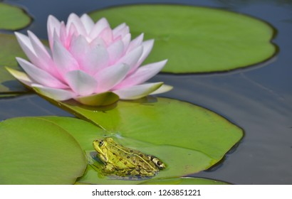 Frog with pink water lily