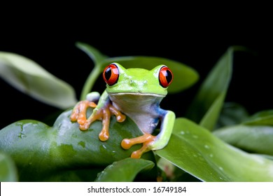 frog in a plant isolated on solid black - a red-eyed tree frog (Agalychnis Callidryas)