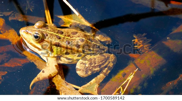 Frog in a pond close up