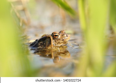 Frog in a pond during mating season on a sunny spring morning.
